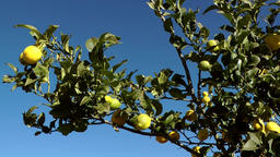 Spain Mallorca Island various 001 lemon tree with ripe fruits Footage