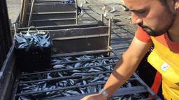 Sardine Fishermen Portugal Footage