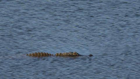 Alligator swims across frame, 4K Footage