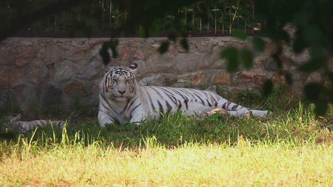 Tigress and her cubs Footage