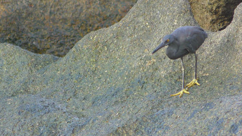 Pacific reef heron hunts for fish Footage