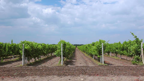 Summer Rows of Vineyards Footage