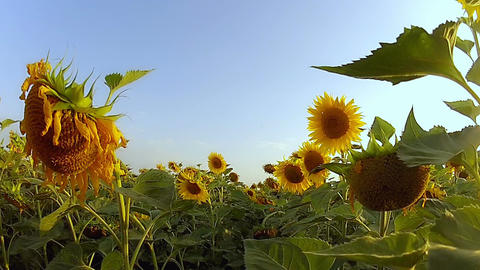 Walking Along the Field of Sunflowers Footage