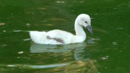 Spain Palma de Mallorca 109 camera accompany cute swan chick over colorful water Footage