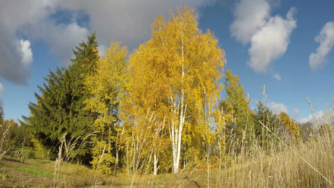 Golden autumn birch grove and wind. Time lapse 4K Footage