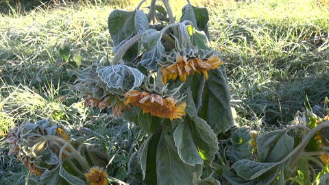 Sunflower covered with frost on sunny morning Footage