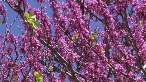 Sunlit pink flowering tree in spring Footage