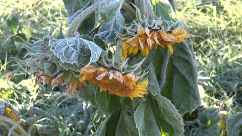 Sunflower plant covered with frost on sunny morning Footage