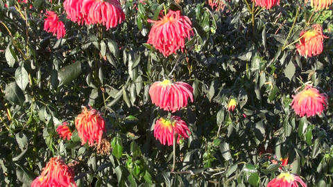 Dahlia plant covered with frost on sunny morning Footage