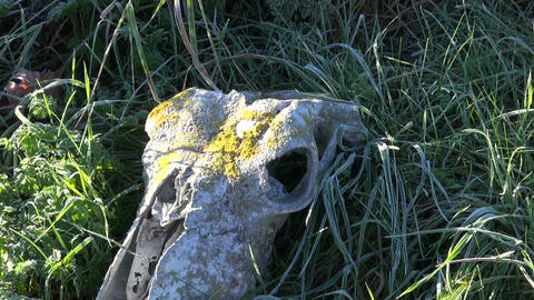 Old horse skull in frosted autumn grass Footage
