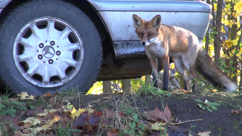 Red Fox by the automobile Footage