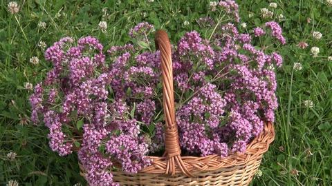 Basket of freshly picked oregano in wicker basket between clover Live Action
