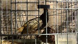 Spain Mallorca Island Sineu village 026 pheasants in a cage on farmers market Footage