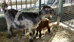 Spain Mallorca Island Sineu village 031 goat with its two lambs for sale Footage
