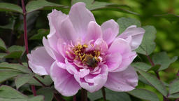 Peony flower (paeonia) and bee in the garden - macro Footage