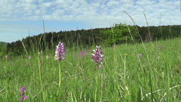 Wild beautiful purple orchid Orchis militaris meadow Footage