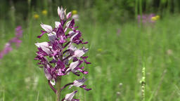 Wild beautiful purple orchid Orchis militaris detail Footage