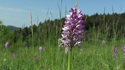 Wild beautiful purple orchid Orchis militaris Footage