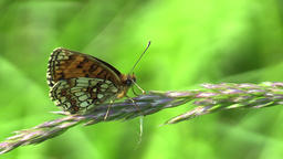 Wild Heath Fritillary (Melitaea athalia), the UNESCO Bile Karpaty Footage