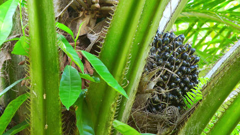 African Oil Palm with spreading leaves growing on tropical plantation Footage