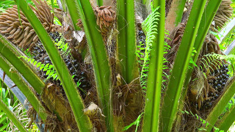 Crown of African Oil Palm with green foliage and bunches... Stock Video Footage