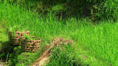 Straw harvest baskets filled with cut rice plants and farmer harvesting crops Footage