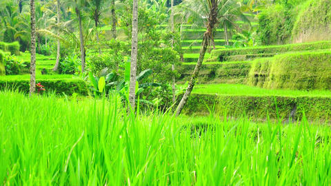 Rice terraces with neat rows of seedlings surrounded by lush tropical trees Footage