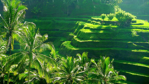 Beautiful scenery with paddy field surrounded by stepped terraces with rice Live Action