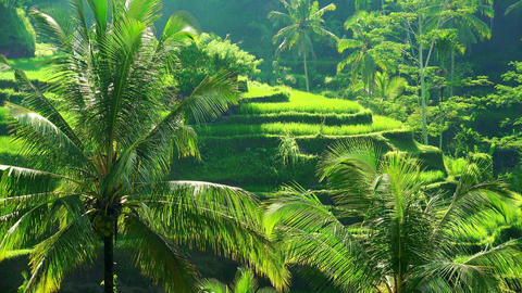 Palm trees with spreading green leaves swaying in wind against rice terraces Footage