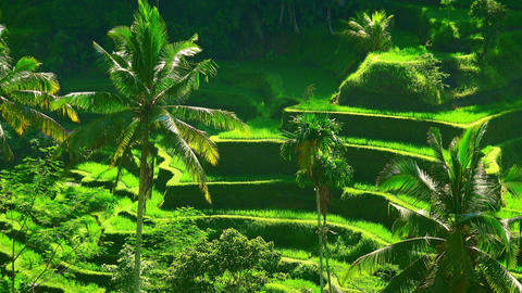 Rice terraces cascading downwards and forming valley surrounded by dense jungle Footage
