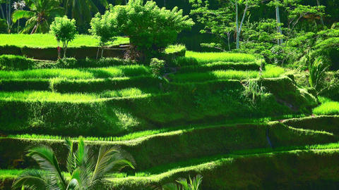 Well-groomed rice terraces covered in vegetation against thick tropical forest Footage