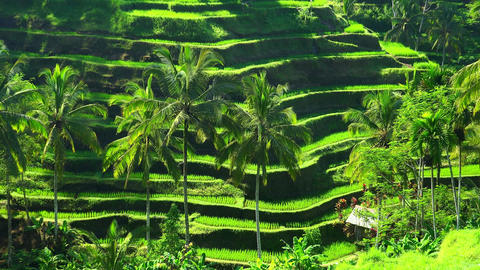 Traditional Asian rice terraces descending down and agricultural building Footage