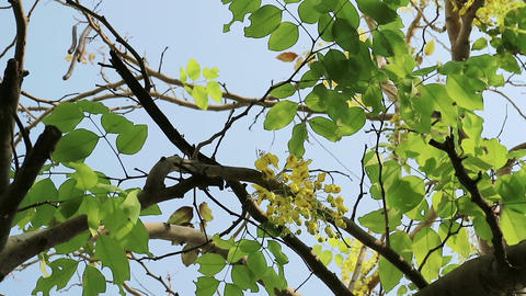 Golden shower tree moving in the wind Image