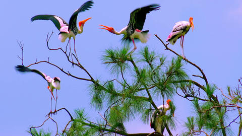 Two painted storks fighting for free tree branch. Watching the birds behavior Footage