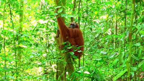 Zooming video of orangutan female in tropical rainforest. Sumatra, Indonesia Footage