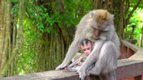 Mother monkey holds cute baby watching around. Indonesia Footage