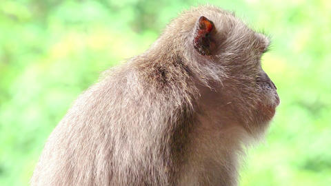 Cute long tailed macaque monkey yawning. Animals in wild Footage