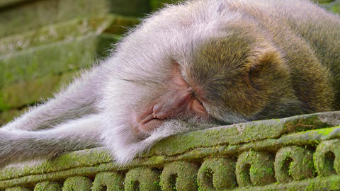 Monkey sleeping on temple's wall in Sacred Monkey Forest. Indonesia Footage