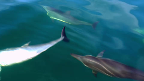 Group of Dolphins play and make flips in water shimmering in sunlight. Sri Lanka Footage