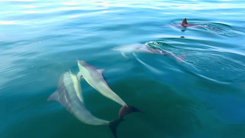 Spinner Dolphins move through sea water surfacing and sinking. Sri Lanka Footage