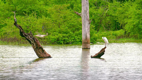 Grey Egret and White Heron perched on log at lake. Udawalawe, Sri Lanka Footage