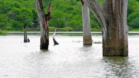 White Heron perched on log at lake. Udawalawe National Park, Sri Lanka Footage