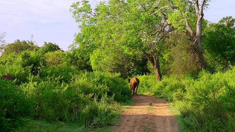Asian elephant walking trough natural landscape. Udawalawe, Sri Lanka Live Action