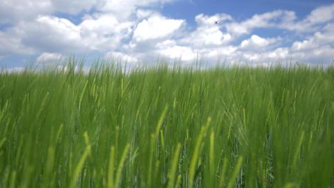 Rack Focus - Closeup To Long Gras And Cloudy Sky 画像