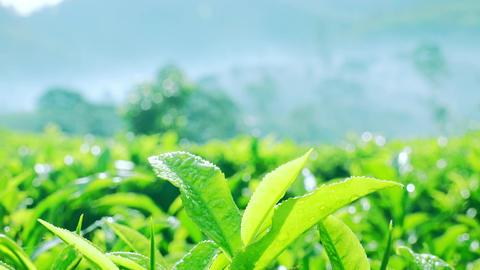 Sunny morning at highland tea plantations with green tea leaves at Sri Lanka Footage