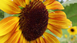 Sunflower on a windy day Live Action