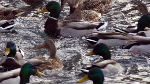 Ducks eat in the winter in cold water Footage