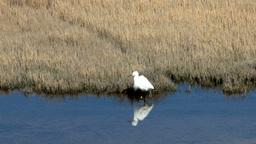 Snowy Egret Live Action