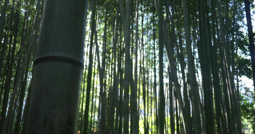 Bamboo forest pull focus ライブ動画