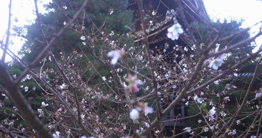 Sakura cherry blossom tree pull focus ライブ動画